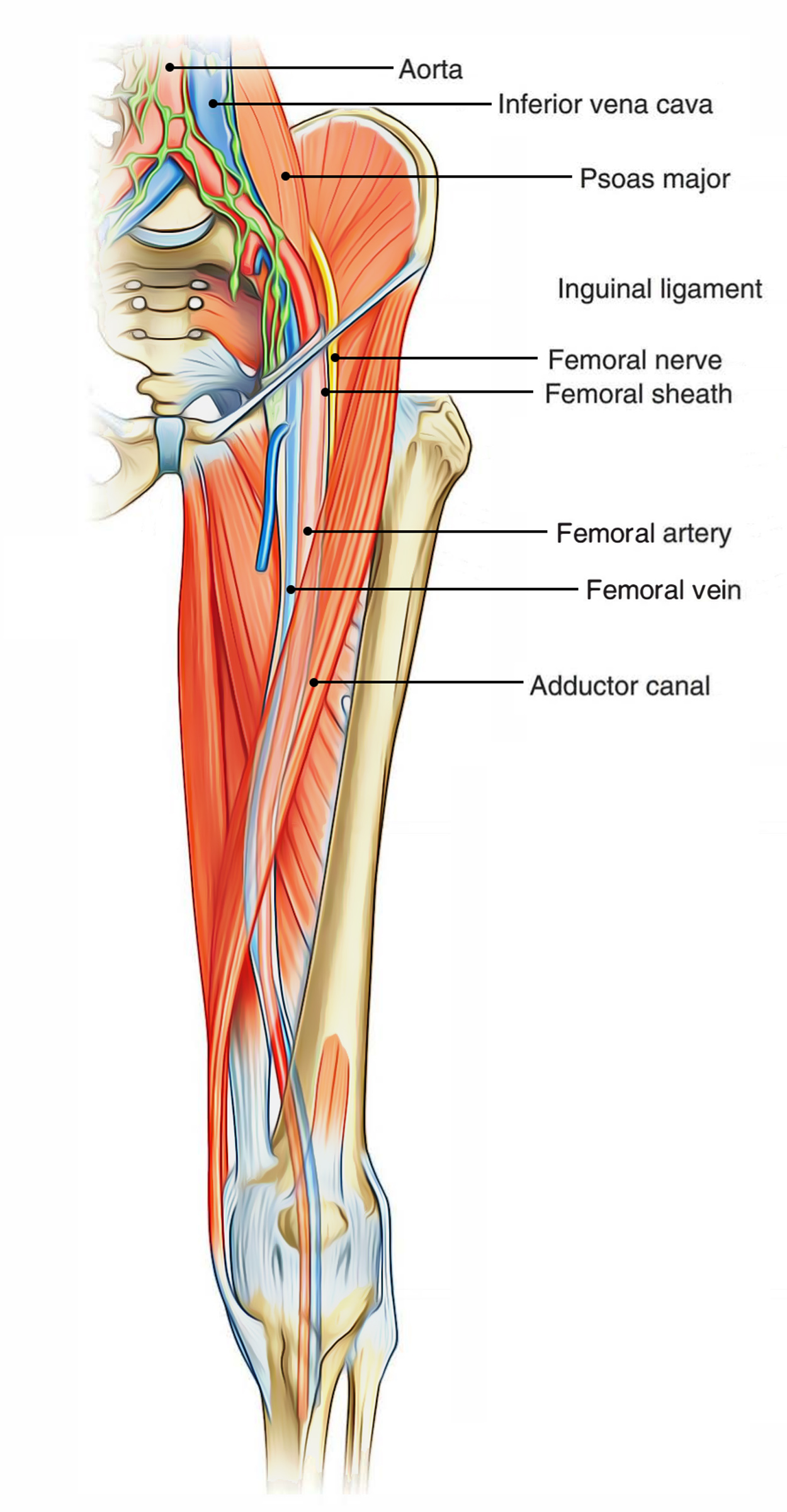 hight resolution of femoral triangle contents
