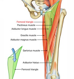 boundaries of the femoral triangle [ 1250 x 2054 Pixel ]