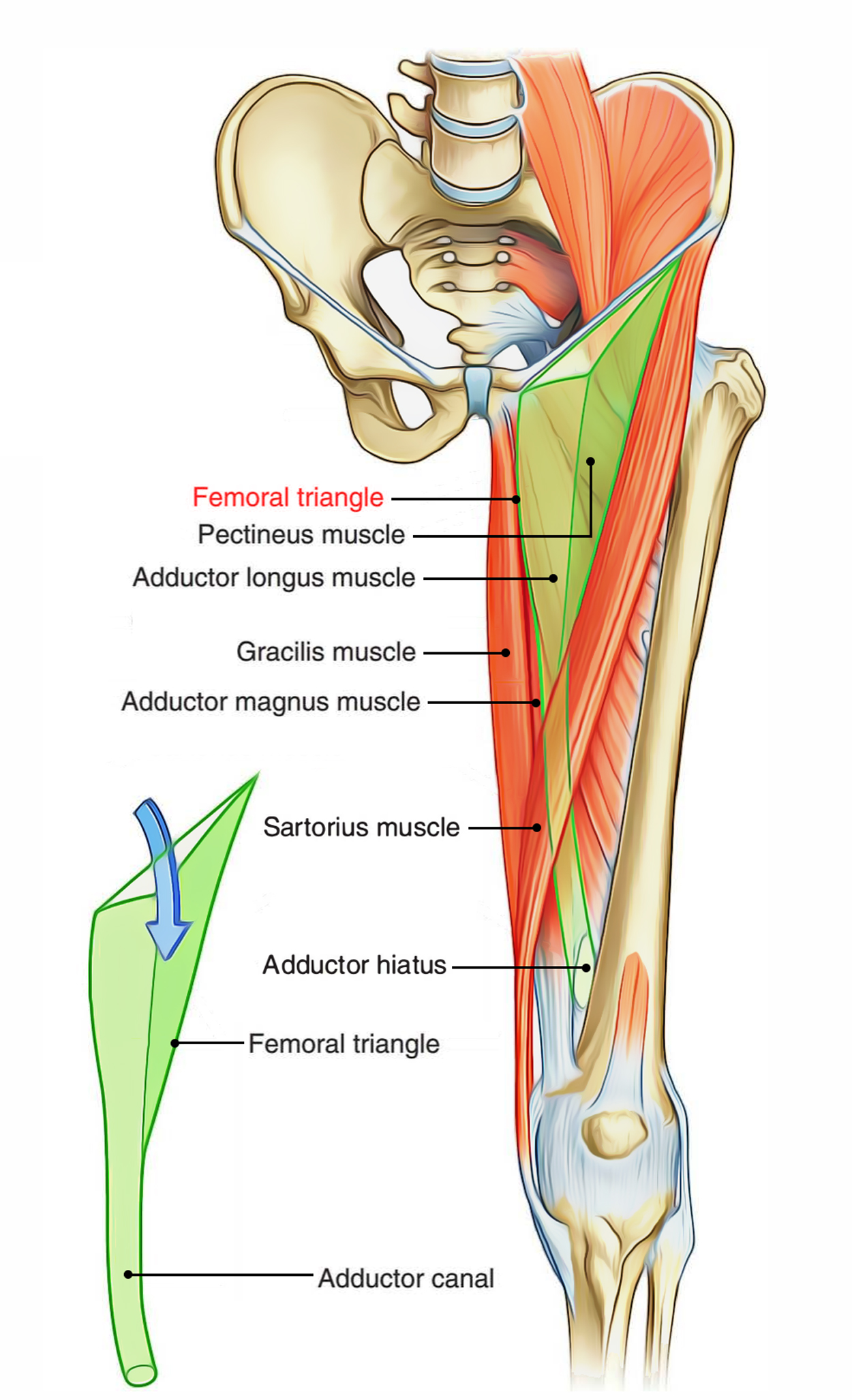 hight resolution of boundaries of the femoral triangle