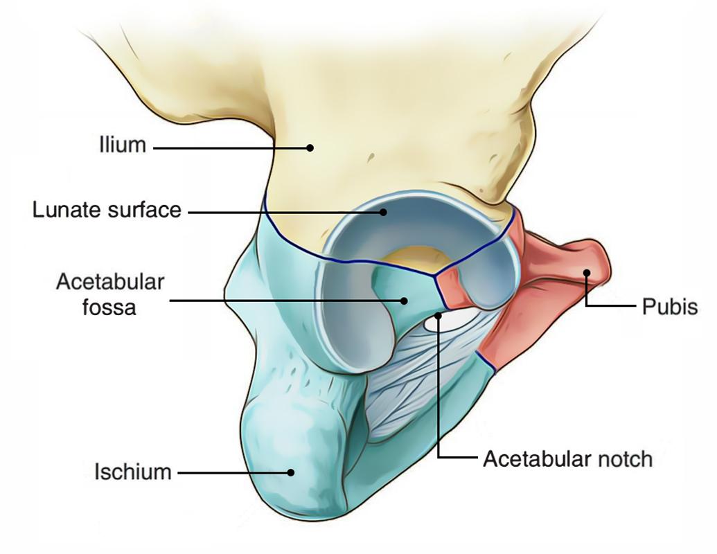 hight resolution of hip bone acetabulum