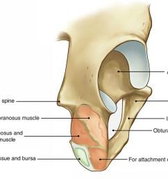 hip bone ends of ischium [ 1417 x 800 Pixel ]