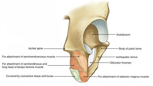 small resolution of hip bone ends of ischium