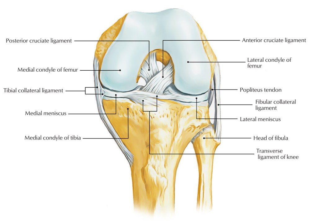 medium resolution of ligaments of knee joint