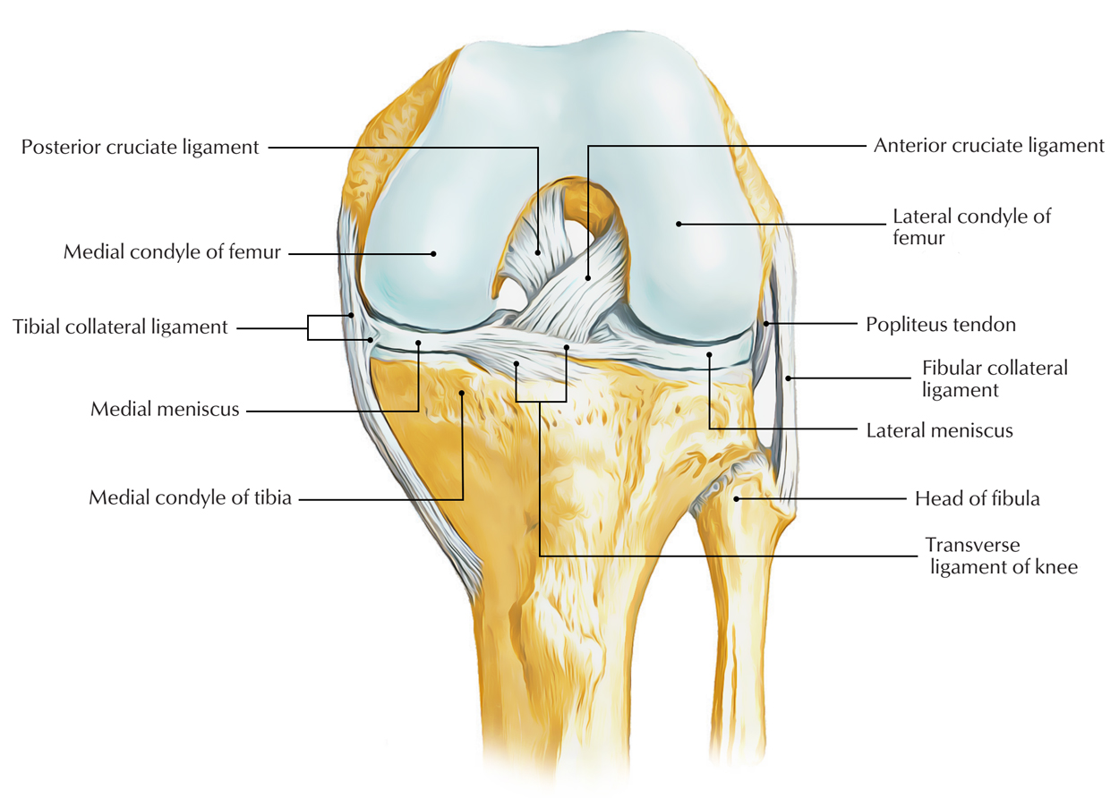 hight resolution of ligaments of knee joint