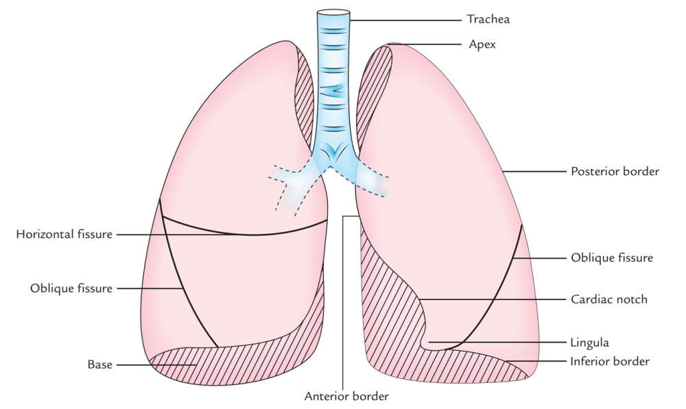 medium resolution of surface markings of lungs fissures