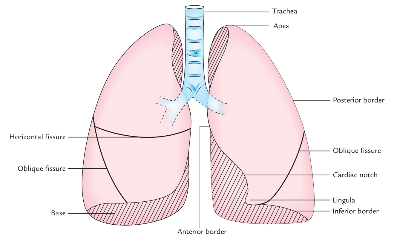 hight resolution of surface markings of lungs fissures