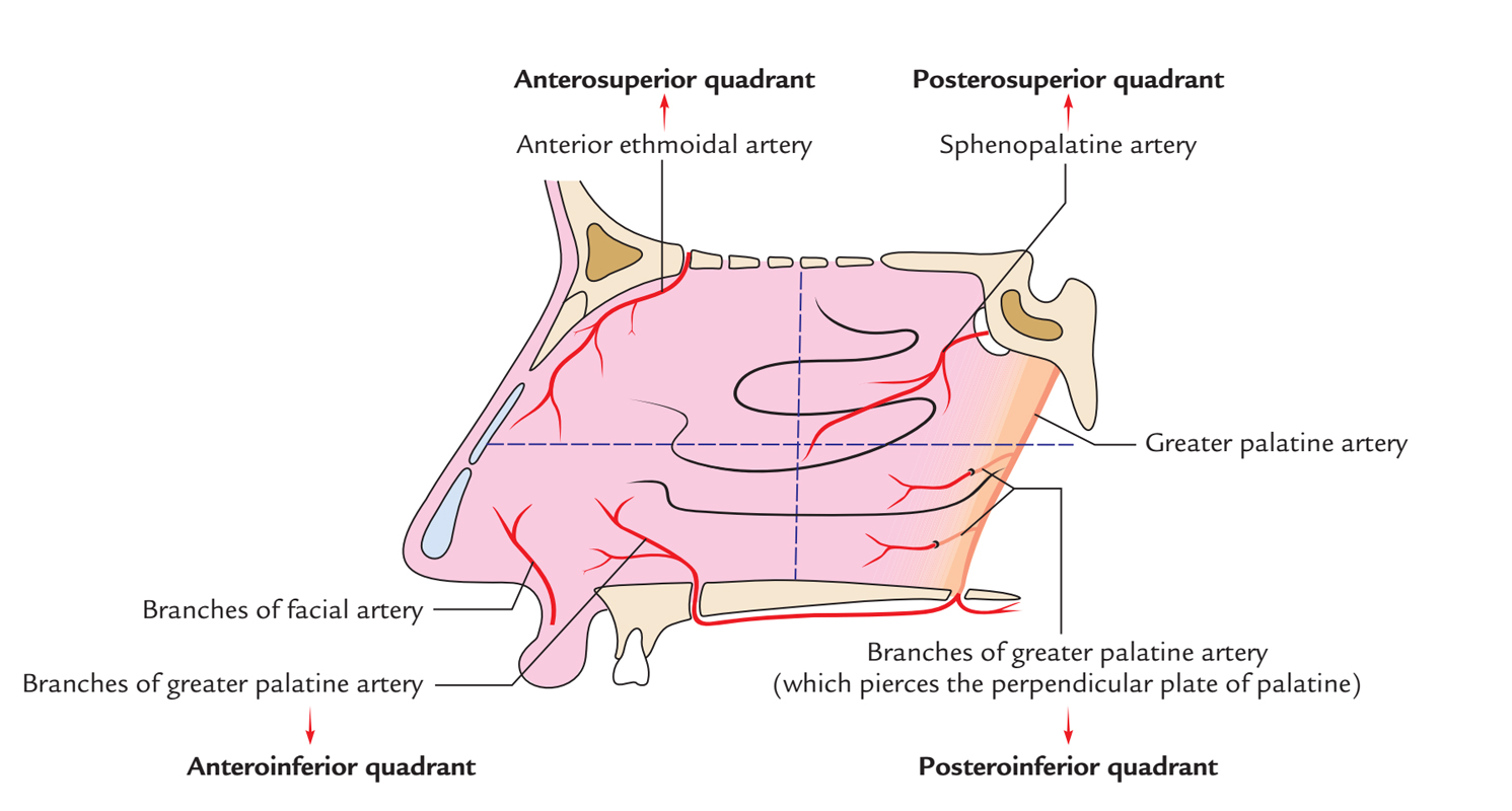 hight resolution of nasal cavity arterial supply of lateral wall
