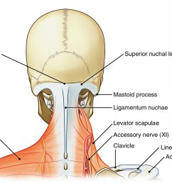 neck posterior region [ 1602 x 800 Pixel ]