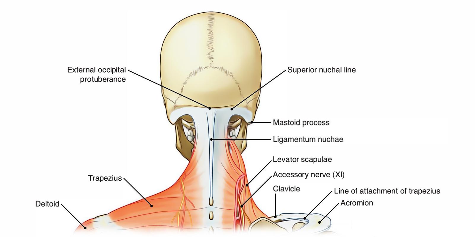 hight resolution of neck posterior region