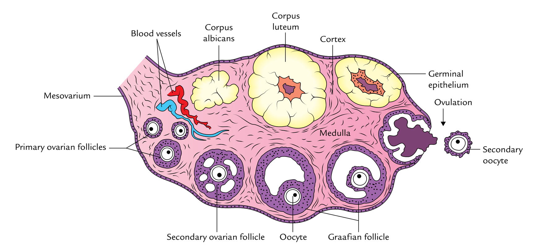 hight resolution of ovaries structure