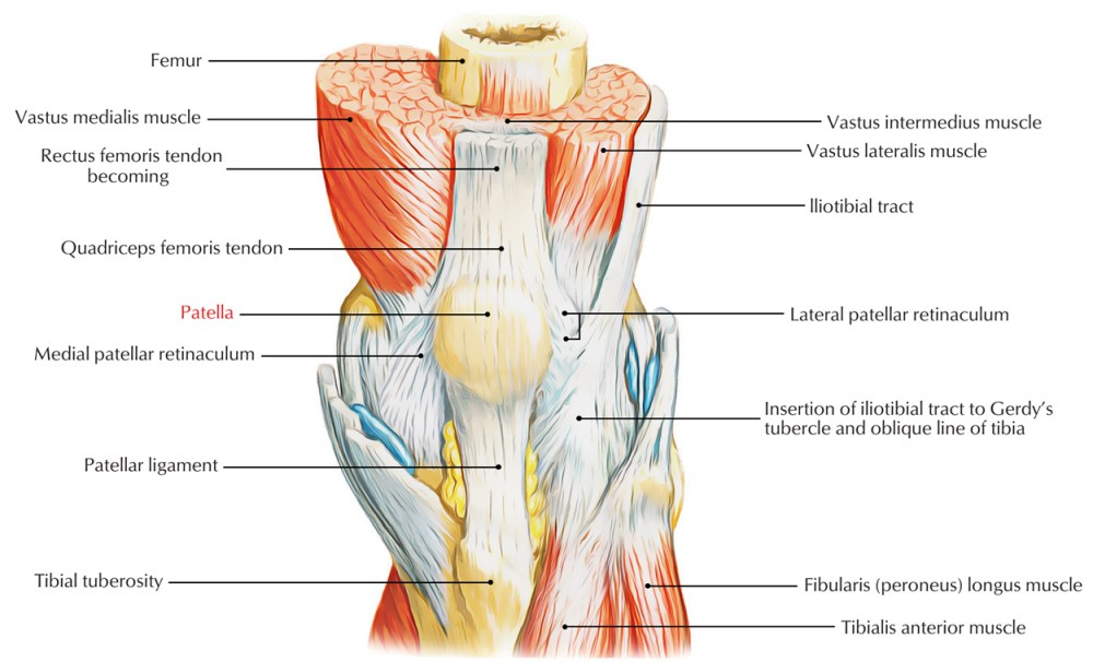 medium resolution of easy notes on patella knee cap learn in just 3 minutes earth s lab