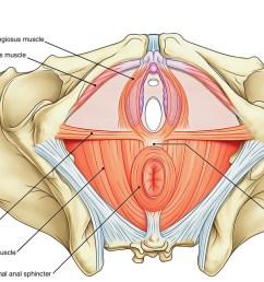 perineum perineal body [ 1294 x 800 Pixel ]