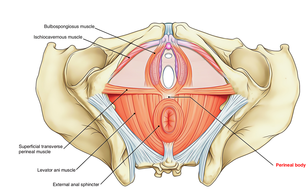 hight resolution of perineum perineal body