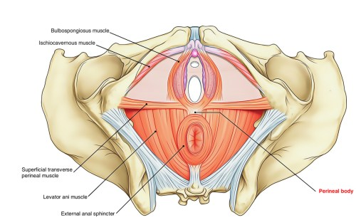 small resolution of perineum perineal body