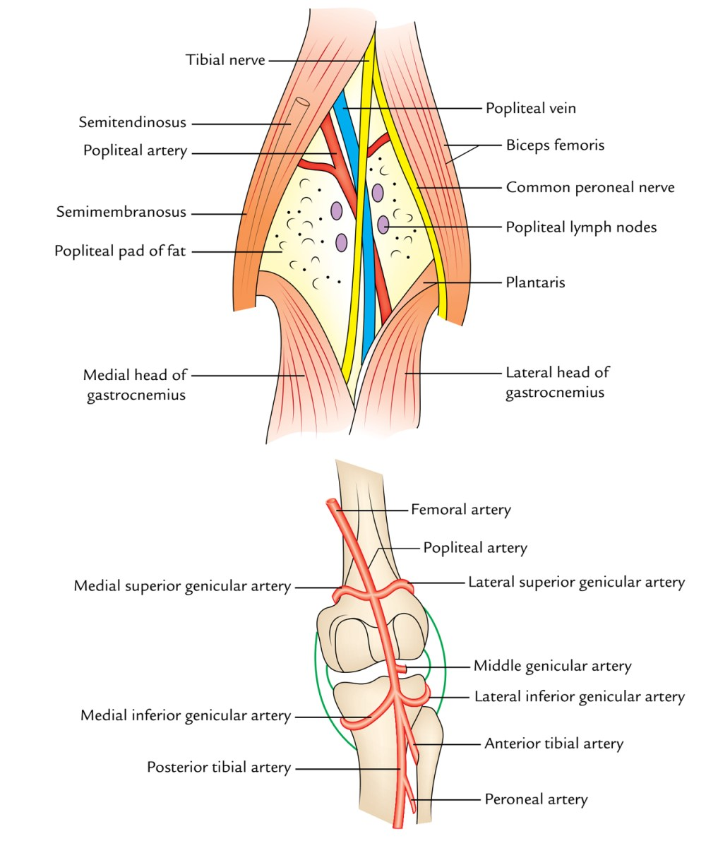 medium resolution of popliteal fossa content