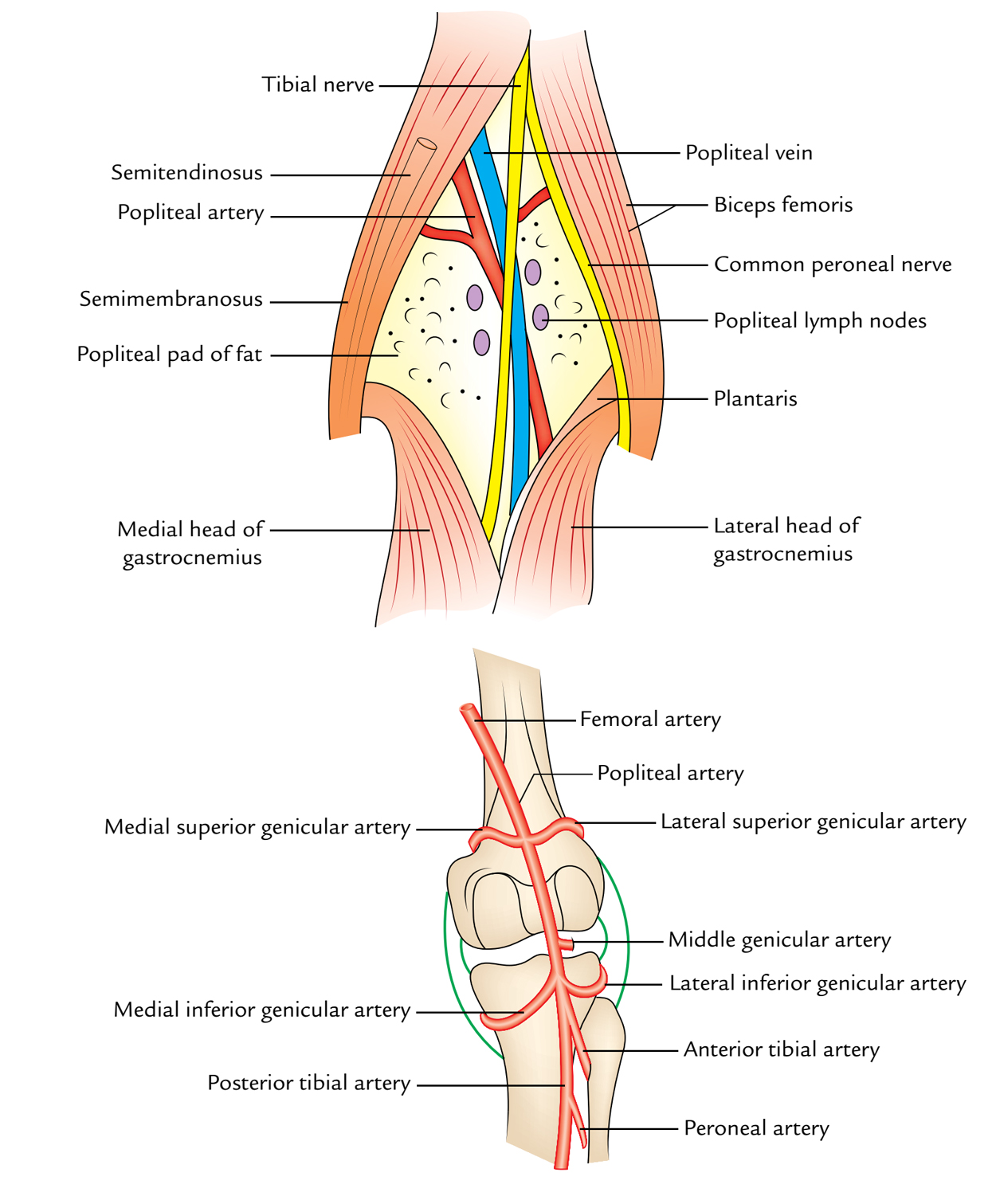 hight resolution of popliteal fossa content