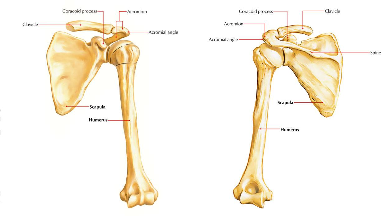 hight resolution of bones of upper limb humerus