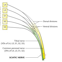 Diagram Of Sciatic Nerve Leg Wiring Diagrams For Sony Car Audio Easy Notes On Nervelearn In Just 4 Minutes