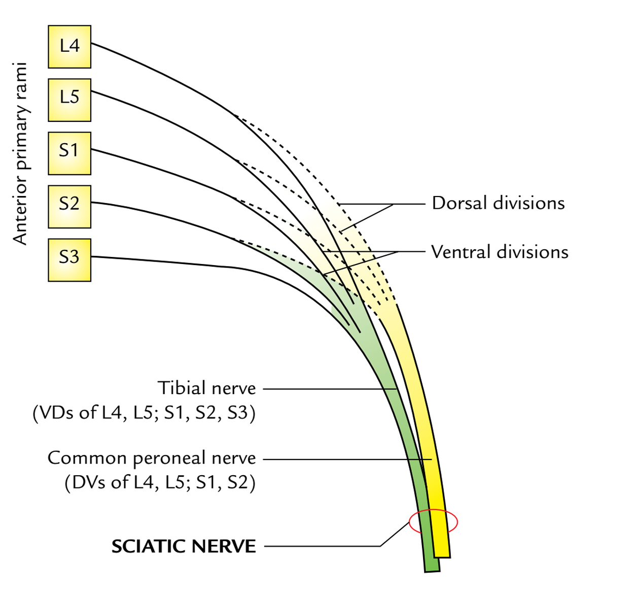 diagram of sciatic nerve pathway easy read wiring diagrams notes on nervelearn in just 4 minutes