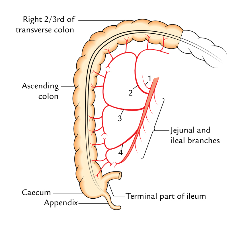 Terminal Ileum Location