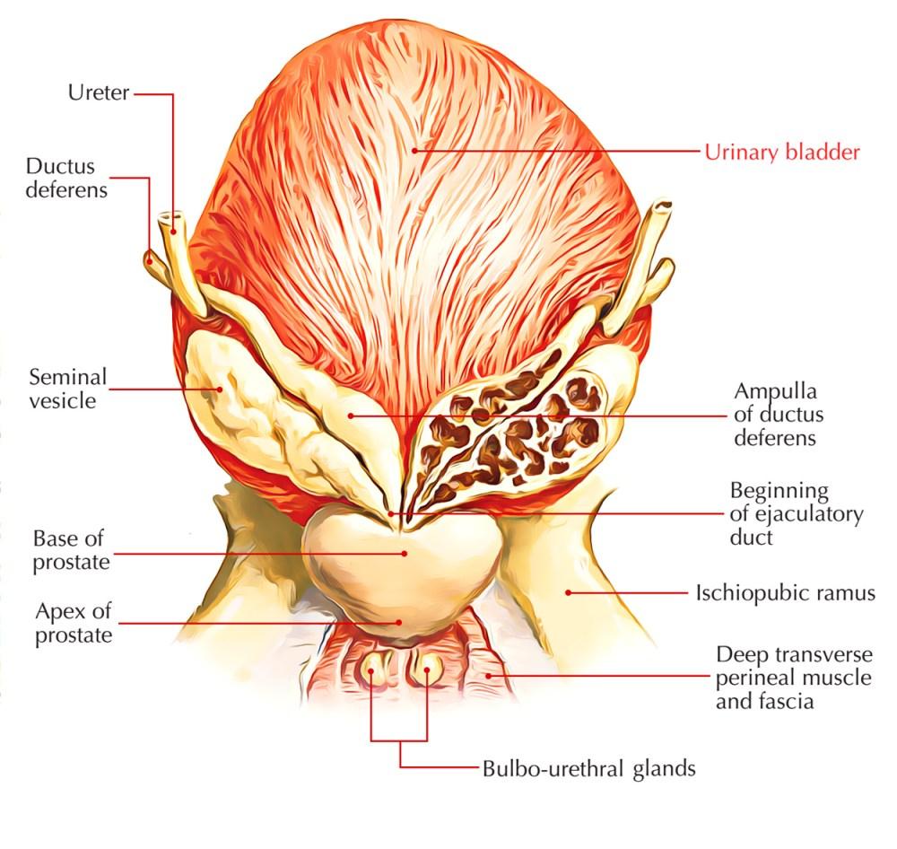 medium resolution of diagram of bladder wall images