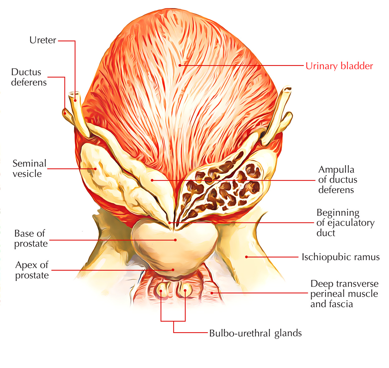 hight resolution of diagram of bladder wall images