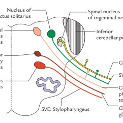 Vagus Nerve Diagram Trailer Plug Wiring 7 Way South Africa Easy Notes On Learn In Just 4 Minutes Functional Parts And Nuclei