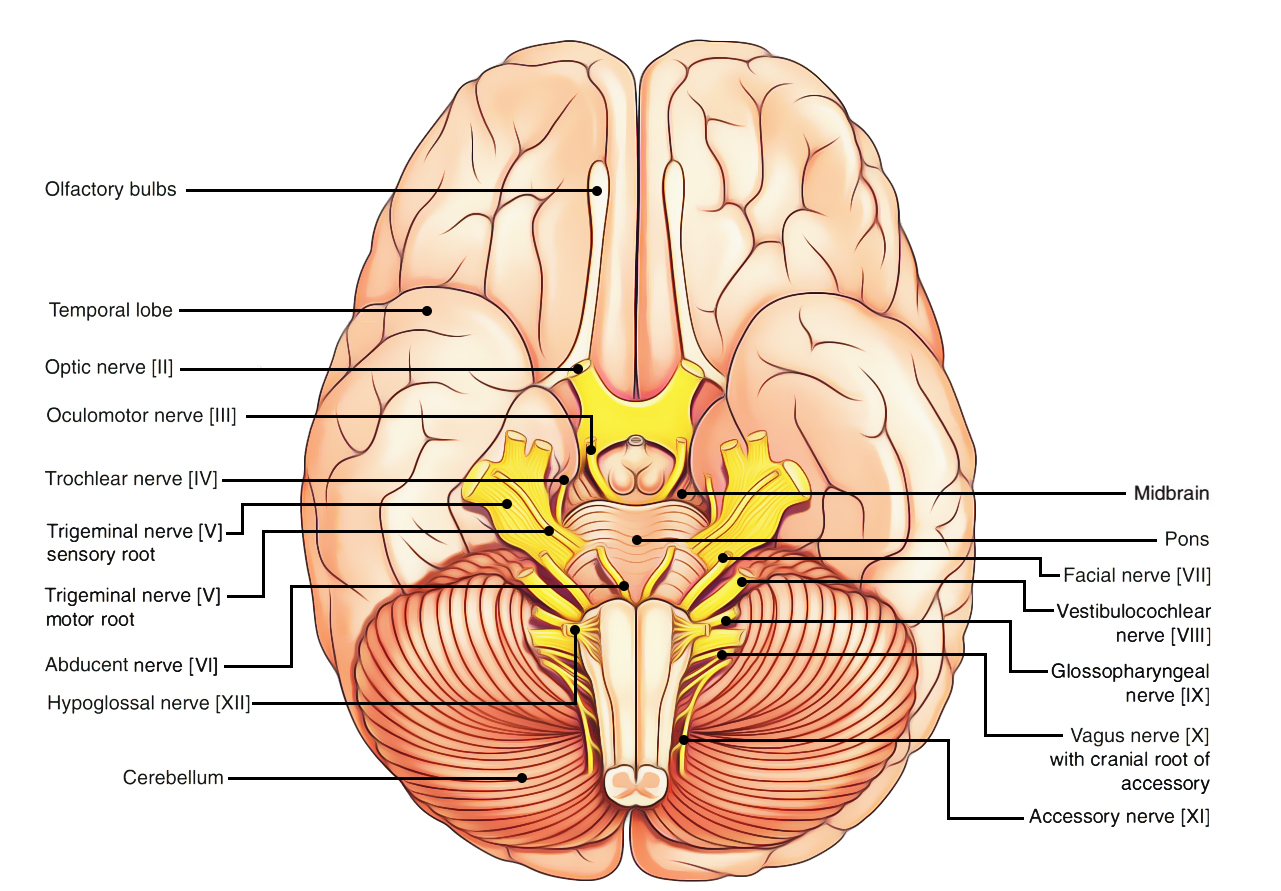 brain diagram without labels rembrandt lighting nerve system to label great installation of wiring easy notes on u3010cranial nerves u3011learn in just 4 minutes nervous