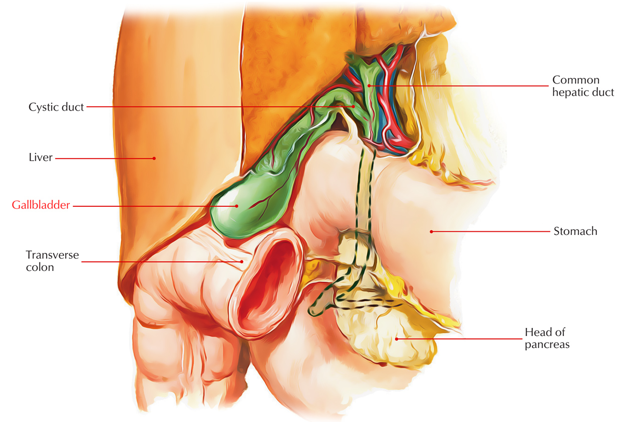 hight resolution of digestive system gallbladder