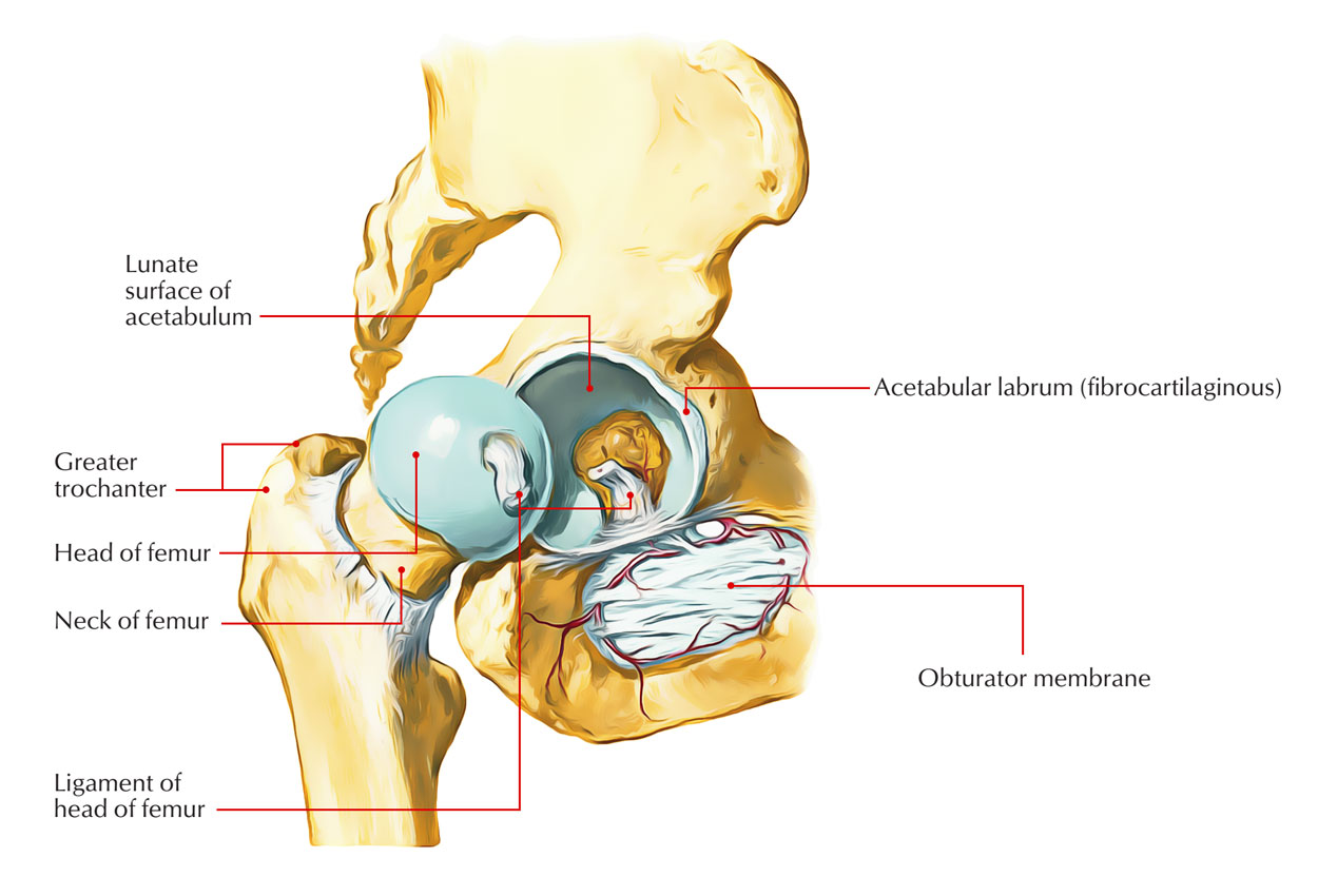 hight resolution of hip joint