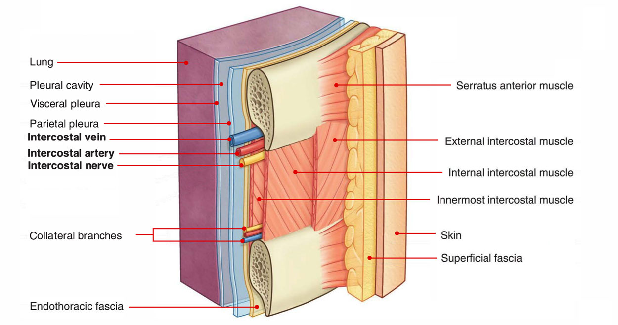 External And Internal Intercostal Intercostal Muscle Muscle