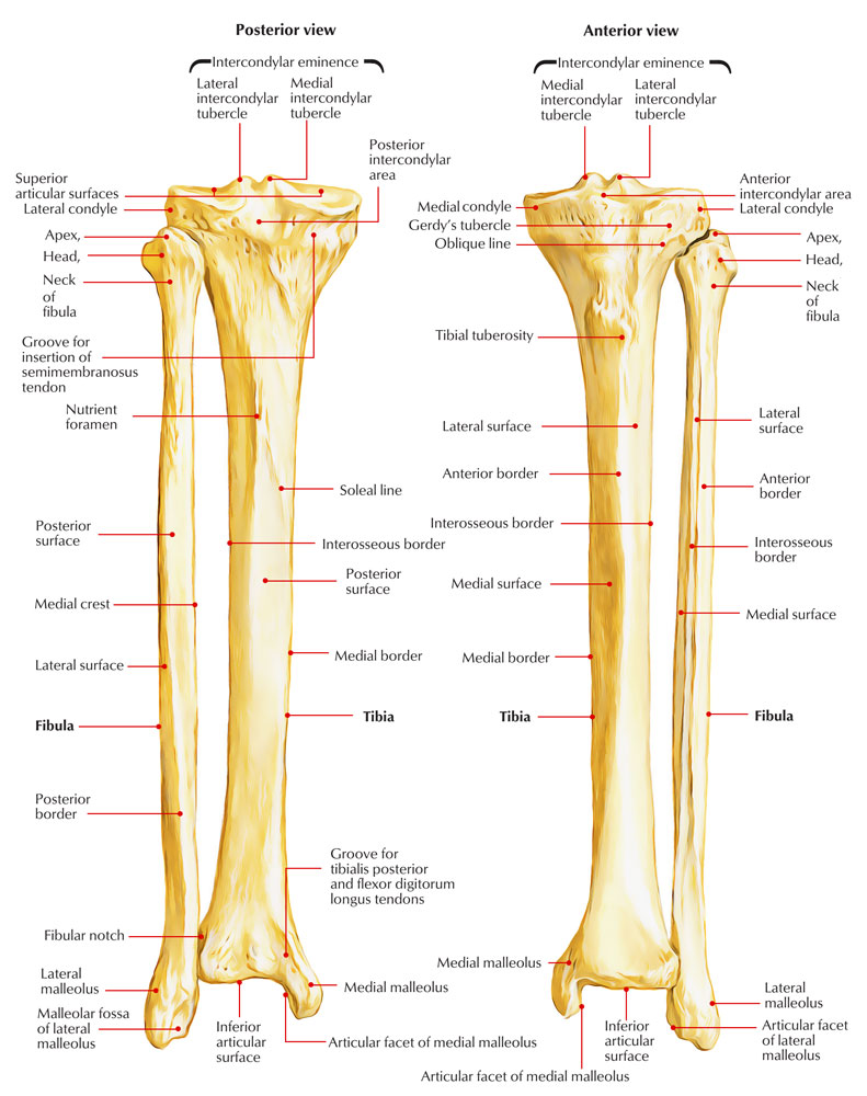 medium resolution of fibula diagram