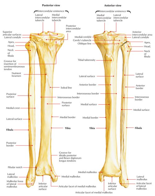 small resolution of fibula diagram