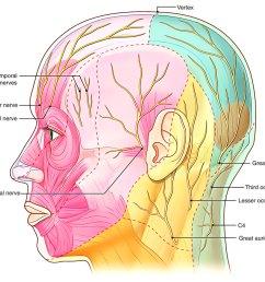 nerve supply of scalp [ 1250 x 944 Pixel ]