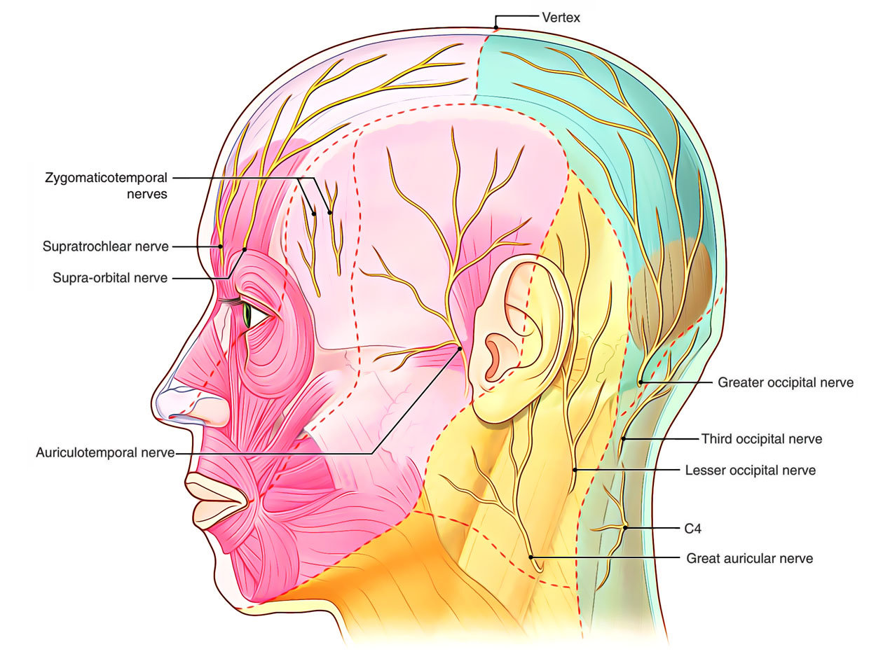 hight resolution of nerve supply of scalp