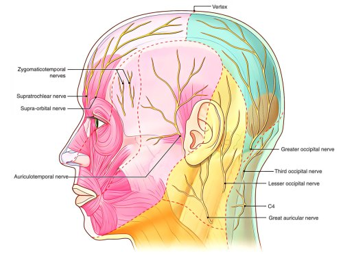 small resolution of nerve supply of scalp