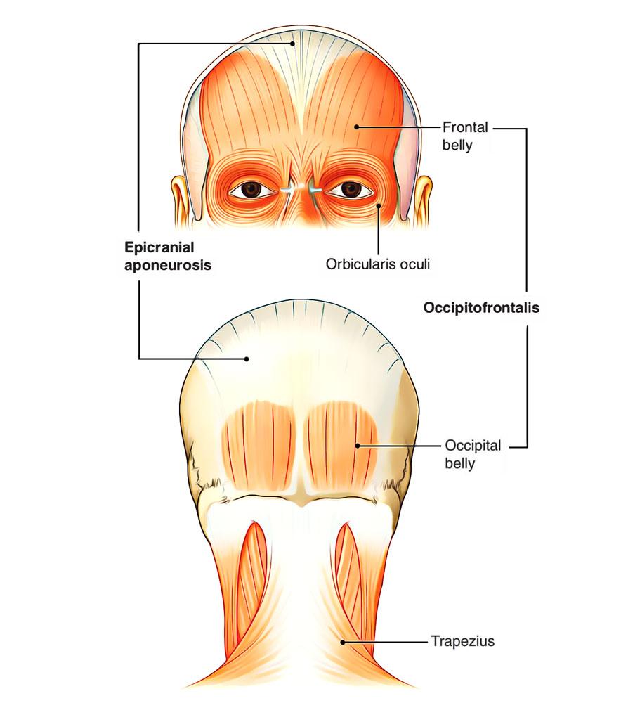 hight resolution of motor supply of scalp