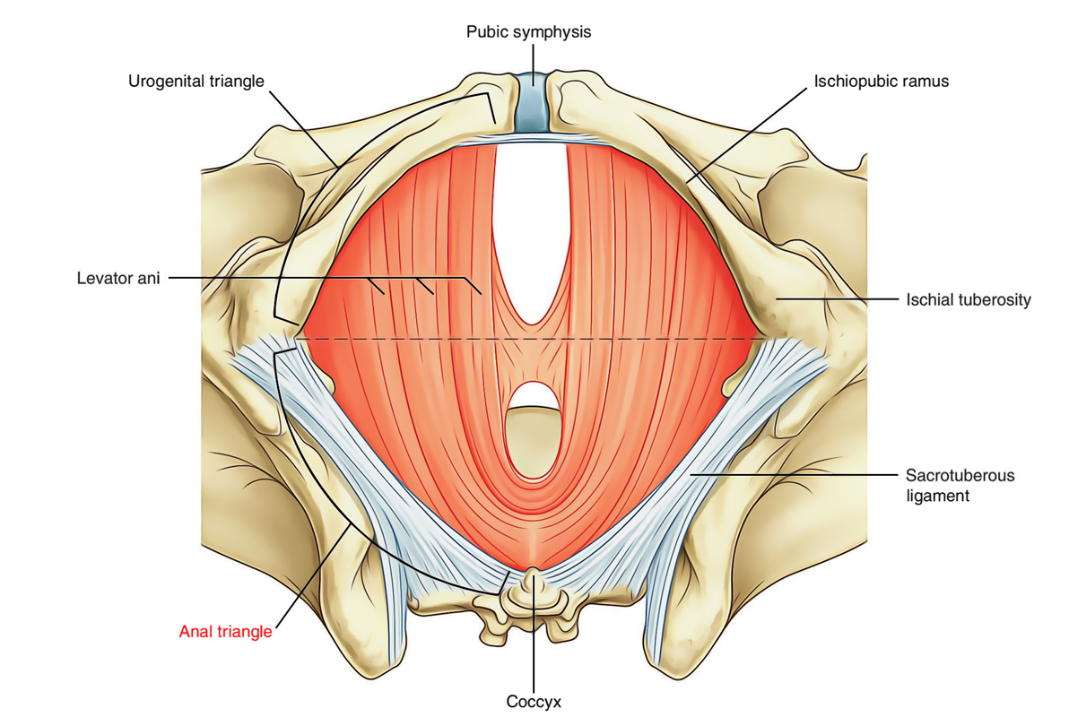hight resolution of perineum anal triangle