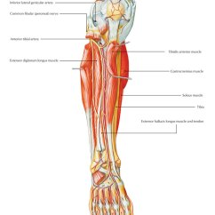 Lower Leg Nerve Diagram Wiring 1993 Chevy Truck Easy Notes On 【anterior Tibial Artery】learn In Just 3 Minutes!