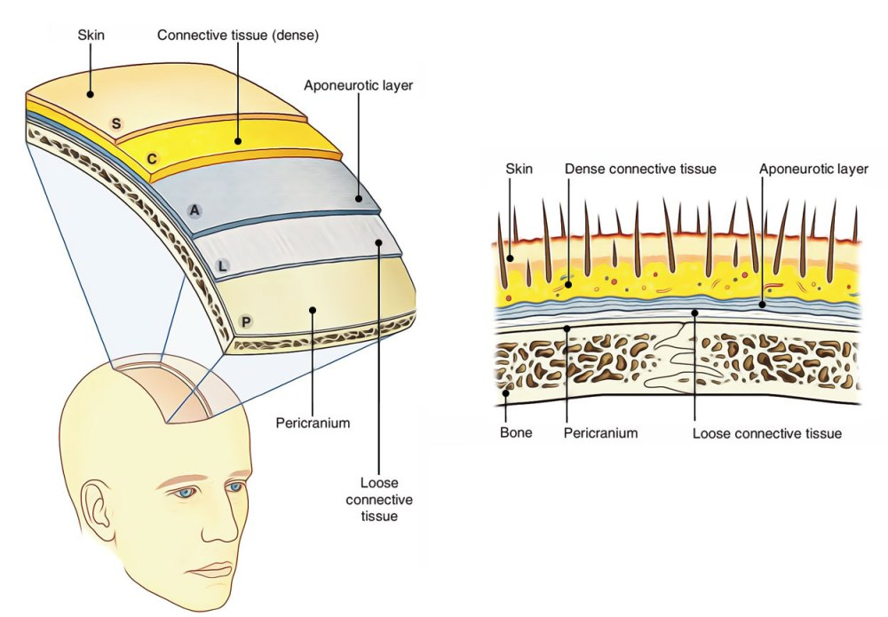 medium resolution of scalp