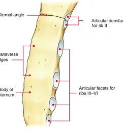 body mesosternum sternum body [ 998 x 902 Pixel ]