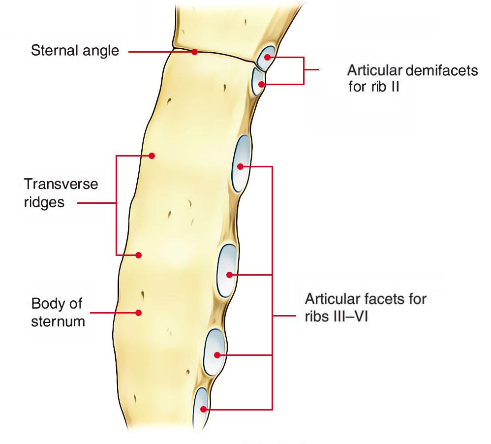 hight resolution of body mesosternum sternum body