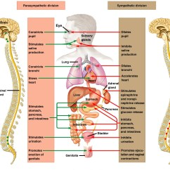Sympathetic And Parasympathetic Diagram 94 Jeep Cherokee Sport Radio Wiring Autonomic Nervous System Ans