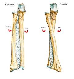 bones of upper limb ulna [ 2330 x 2048 Pixel ]