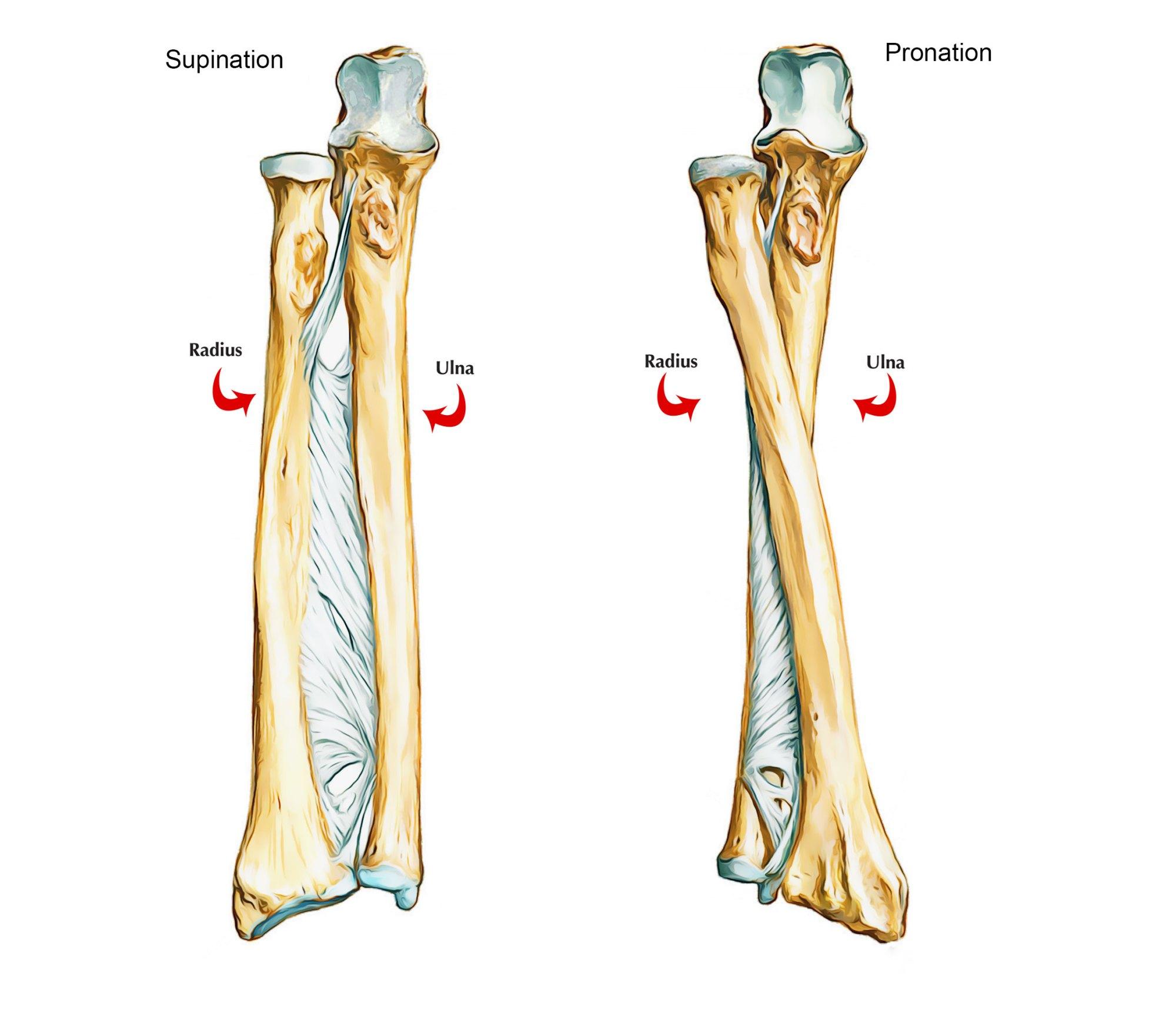 hight resolution of bones of upper limb ulna