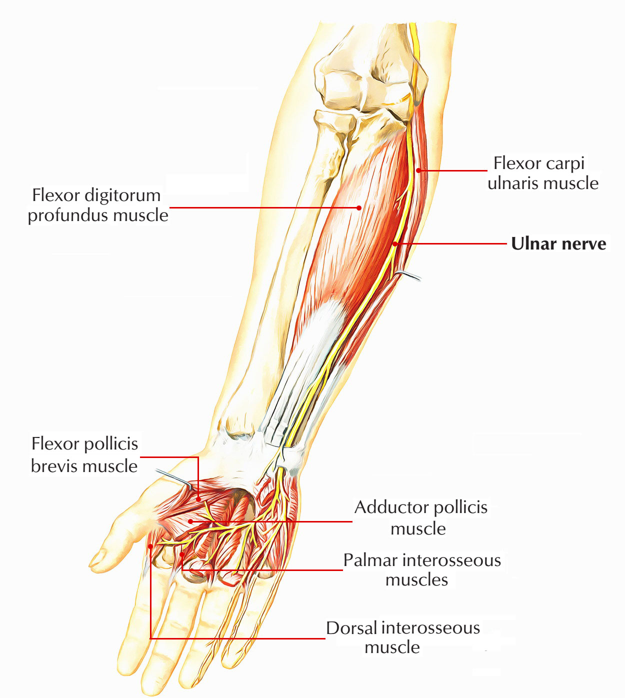 ulnar nerve diagram xentec hid wiring easy notes on learn in just 4 minutes forearm