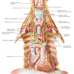 Vagus Nerve Diagram 2 Channel Car Amp Wiring Easy Notes On Learn In Just 4 Minutes