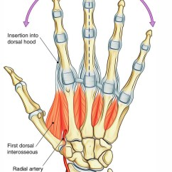Palmar Hand Muscle Anatomy Diagram Epiphone Les Paul Coil Tap Wiring Easy Notes On Dorsal Interosseilearn In Just 3 Minutes