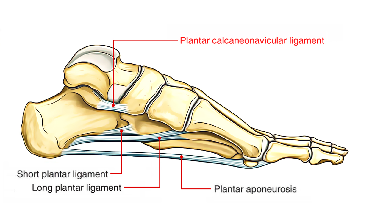 Easy Notes On 【Plantar Calcaneonavicular Ligament】 – Earth's Lab