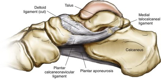 Easy Notes On 【Talocalcaneal Ligament】Learn in Just 3 Minutes! – Earth's Lab